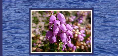 Mull of Kintyre - heather in full bloom